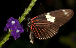 longwing motyli doris Obrazy Stock