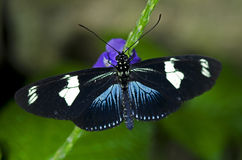 longwing motyli doris Fotografia Stock