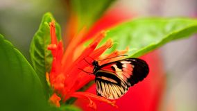 Longwing piano key butterfly on flowers Royalty Free Stock Photography
