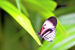Longwing piano key butterfly on green leaf Stock Photography