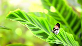 Longwing piano key butterfly on large green leaf Stock Photo