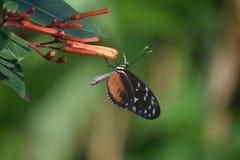 Longwing Polinating Motylia pomarańcze Kwitnie w ogródzie Obraz Stock