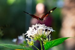 Longwing postman butterfly on white pentas lanceolata. With widespread wings ready to take off photographed at the Butterfly World Coconut Creek Florida FL stock photography