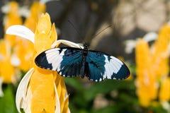 longwing sara的蝴蝶 图库摄影