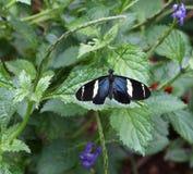 longwing sara的蝴蝶 库存照片