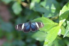 longwing sara的蝴蝶 库存图片