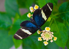 longwing sara的蝴蝶 免版税库存图片