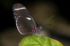 longwing sara的heliconius 免版税库存照片