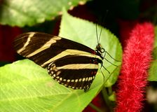 longwing sebra Royaltyfri Fotografi