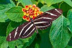 longwing sebra Arkivfoto