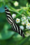 longwing sebra Royaltyfria Bilder