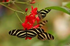 longwing sebra Fotografering för Bildbyråer