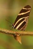 longwing sebra Arkivbilder
