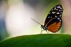 longwing tiger för fjäril Fotografering för Bildbyråer