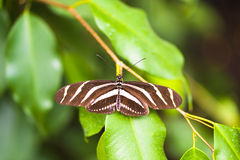 Longwing Zebra Butterfly. With spread wings resting on Leaves Royalty Free Stock Photography