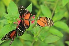 Longwings fjärilar Arkivfoto