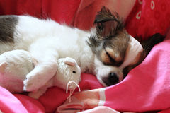 Longwoolled chihuahua puppy sleeping with her mouse Royalty Free Stock Images