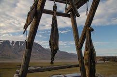 Hanging seals carcase in Longyearbyen. Longyearbyen Svalbard, Norway august 2017 Stock Images