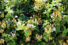 Lonicera - Honeysuckle Royalty Free Stock Images