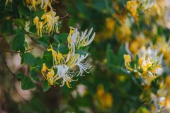 Lonicera japonica Thunb or Japanese honeysuckle yellow and white flower in garden. Lonicera japonica Thunb or Japanese honeysuckle yellow and white flower in stock images