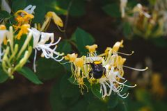 Lonicera japonica Thunb or Japanese honeysuckle yellow and white flower in garden. Lonicera japonica Thunb or Japanese honeysuckle yellow and white flower in royalty free stock image