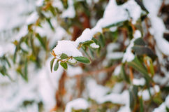 Lonicera liana with green leaves in snow Royalty Free Stock Images