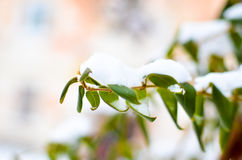 Lonicera liana with green leaves in snow Royalty Free Stock Photo