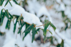 Lonicera liana with green leaves in snow Stock Photography