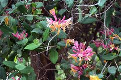 Lonicera periclymenum, Honeysuckle or Woodbine with flowers in Spring time. Background stock photo