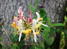 Lonicera Winchester Blossom. Hummingbirds and butterflies love the fragrant cream and maroon-purple flowers of this semi-evergreen vine. A member of the Stock Photo