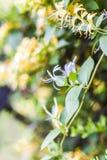 Lonicerapericlymenum het gele bloeien in de zomer in de tuin Royalty-vrije Stock Foto's