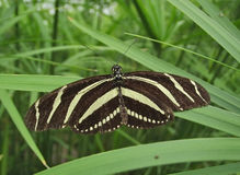 The Lonley Butterfly. This photo has a brightly striped butterfly sitting on a large strand of grass Royalty Free Stock Image