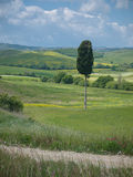 Lonley cypress tree in Tuscan landscape Stock Photography