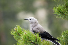 The Lonley Jay. This was a Canadian Jay at Yellowstone National Park. It perched on a beautiful pine tree, which made for a very beautiful picture Stock Photo