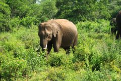 Lonley juvenile asian elephant in the udawalawe national park, Sri Lanka stock photos