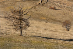 Lonley larch. On Bainsica plateau Stock Images