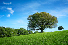 Lonley old tree in meadow Stock Images