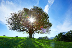 Lonley old tree in meadow with sun backlight Stock Image