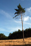 Lonley pine. Lonely pine against forest. Peaceful and relaxing landscape Royalty Free Stock Images