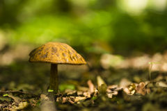 Lonley small mushroom Royalty Free Stock Photography