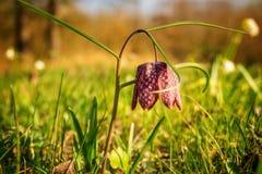 lonley spring flower Royalty Free Stock Photos