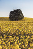 Lonley tree over the canola field Stock Images