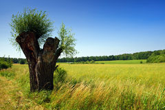 Lonley willow in summer time landscape Stock Image