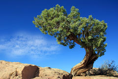 Lonly pine. A lonly pine in front of blue sky Stock Image