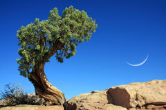 Lonly pine. A lonly pine in front of blue sky Stock Photo