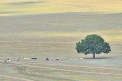 Lonly tree and goats Stock Photos