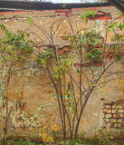 Lonly tree beside old building wall. In autumn Royalty Free Stock Photos