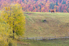 Lontano mucca in un paesaggio di autunno della montagna Fotografia Stock Libera da Diritti