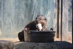 lontra Foto de Stock