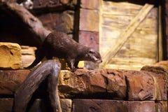 Lontra in acquario di Atlanta Fotografie Stock Libere da Diritti